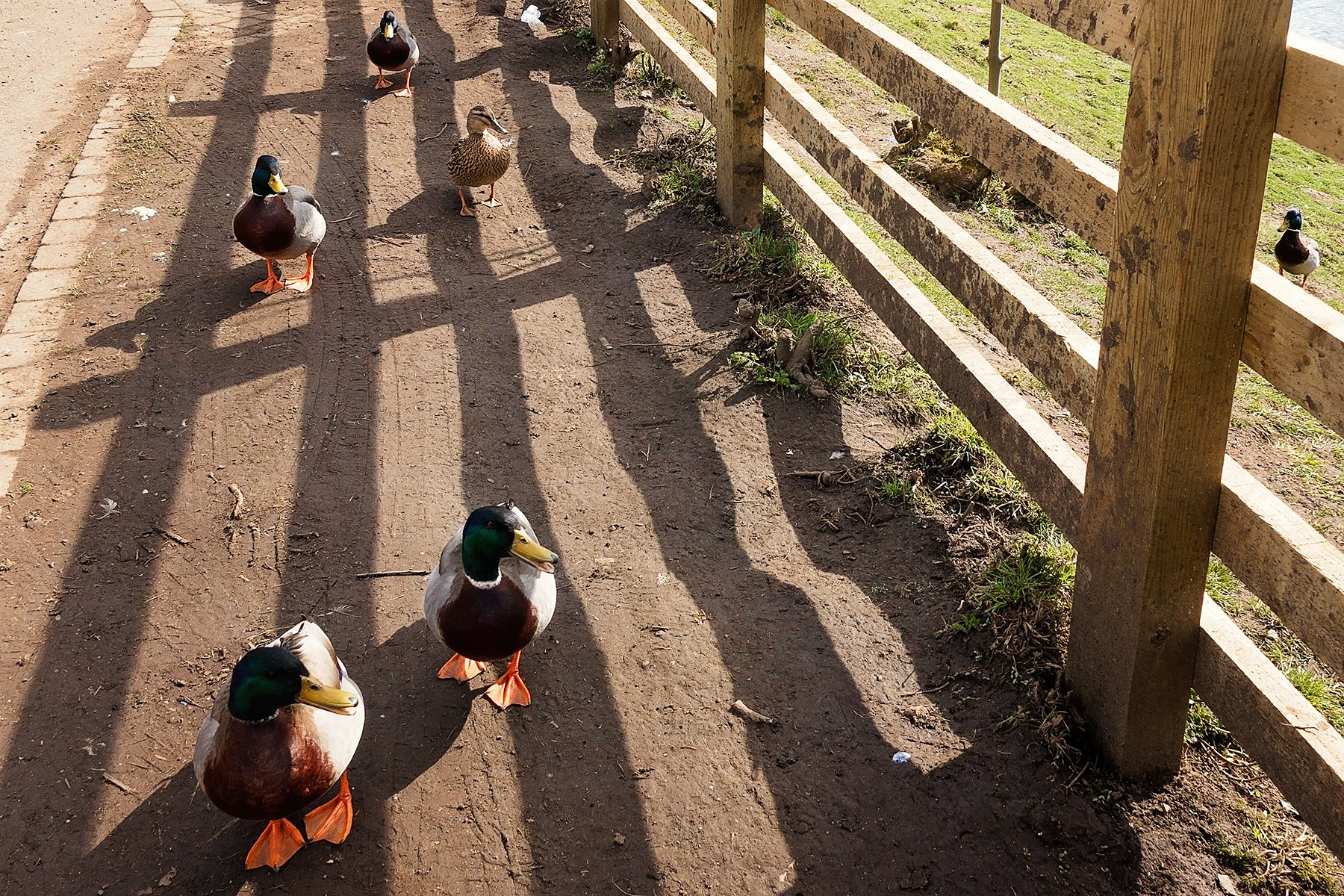 Ducks on the road at More Hall Reservoir.