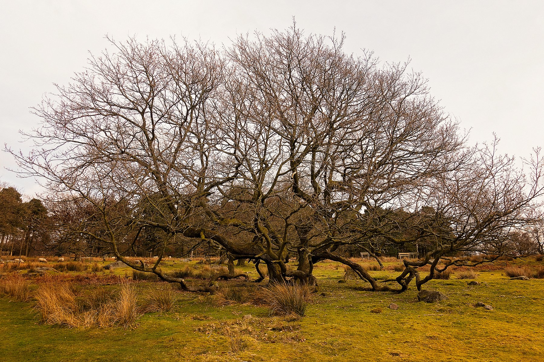Two trees in Longshaw Estate in the Peak District