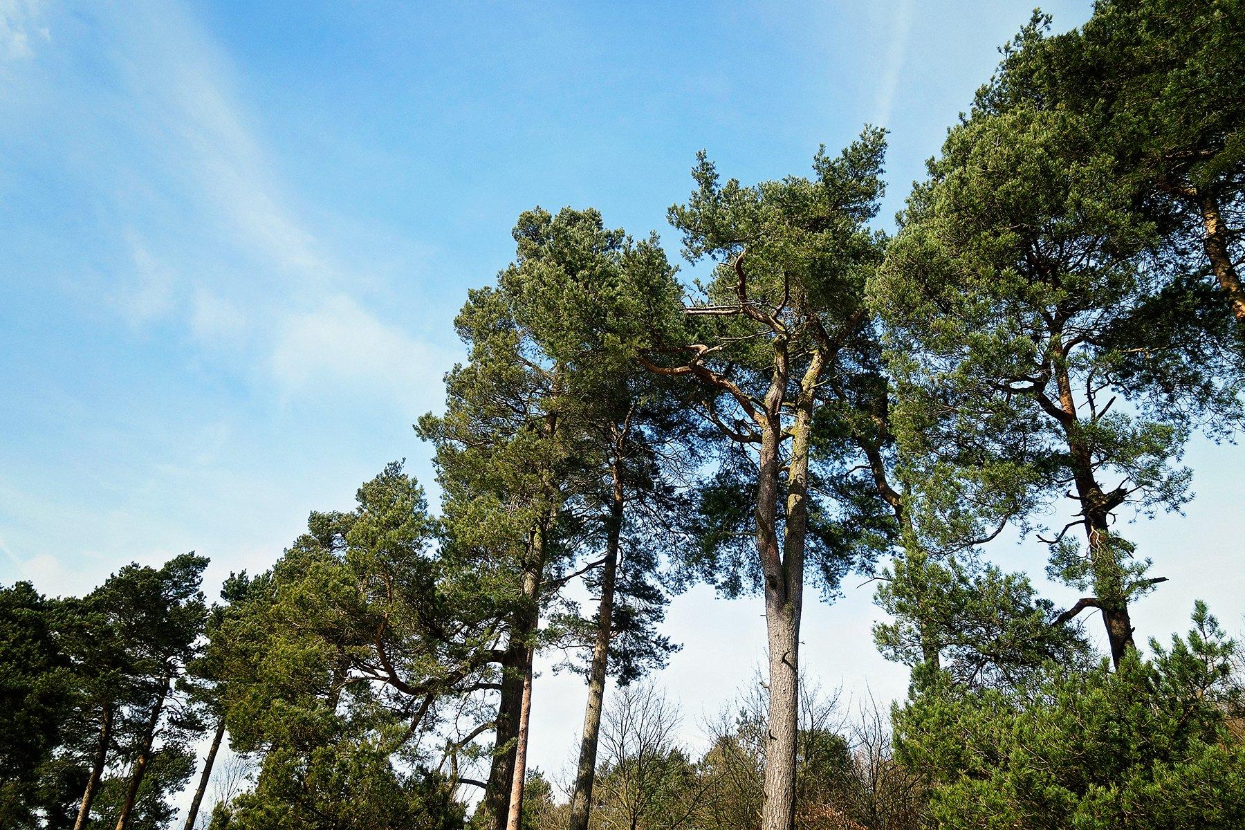 Longshaw pine trees