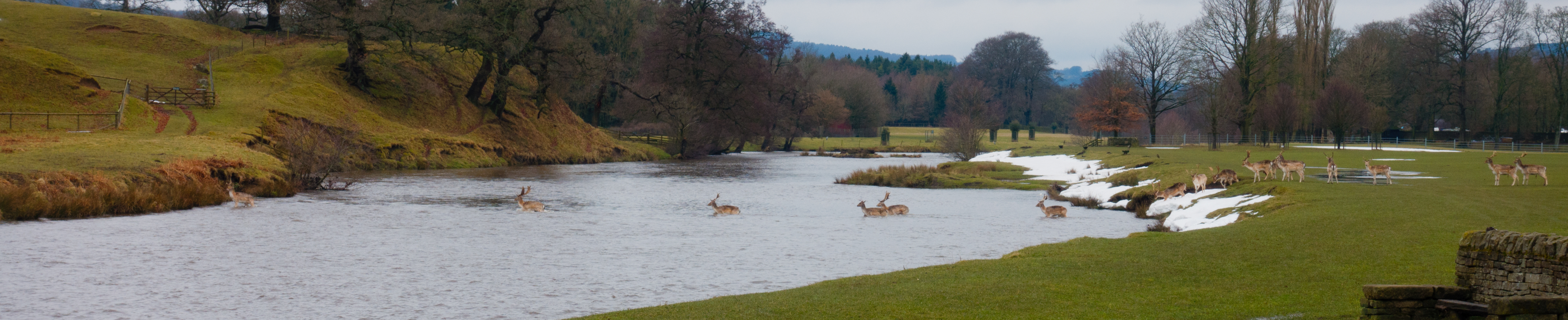 deer crossing river at Chatsworth house