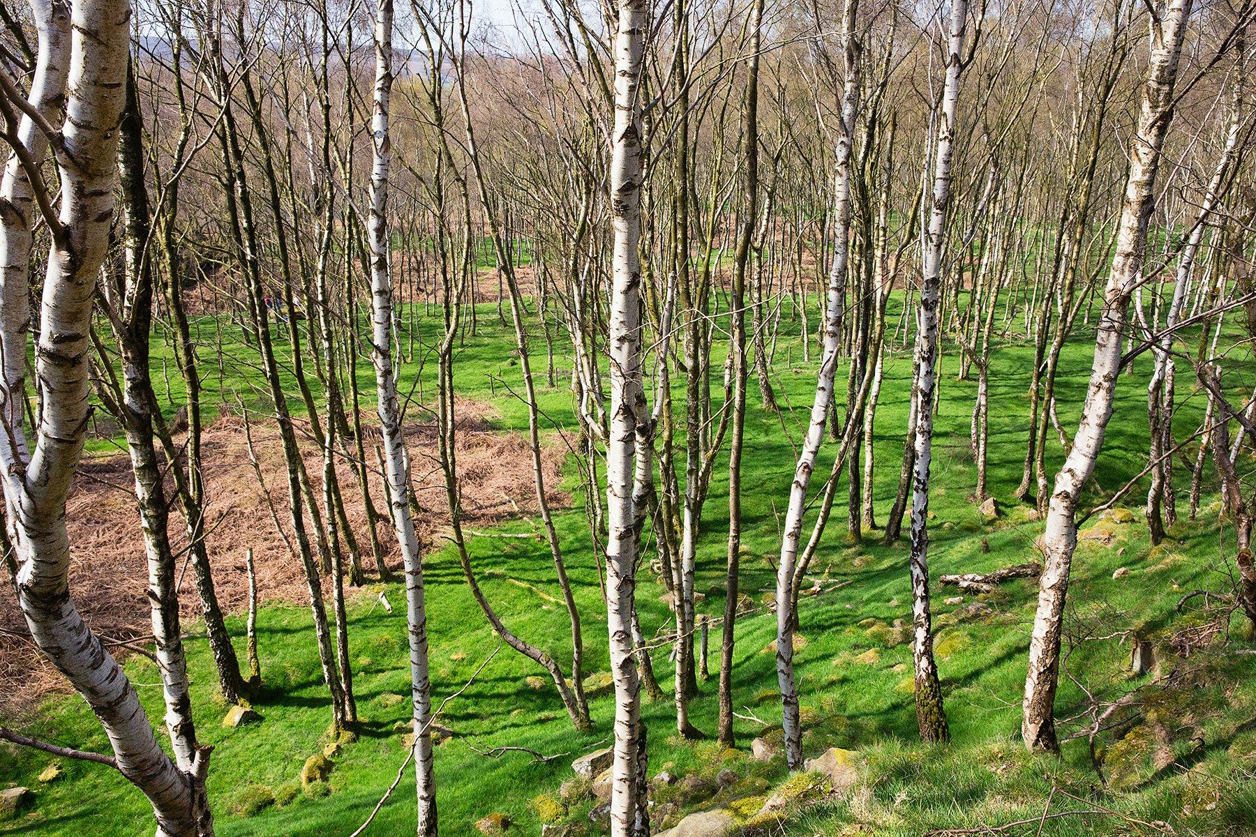 Bolehill Woods
