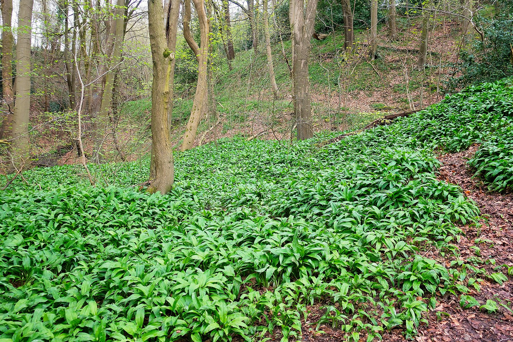 Wild garlic at Linacre reservoirs near Chesterfield