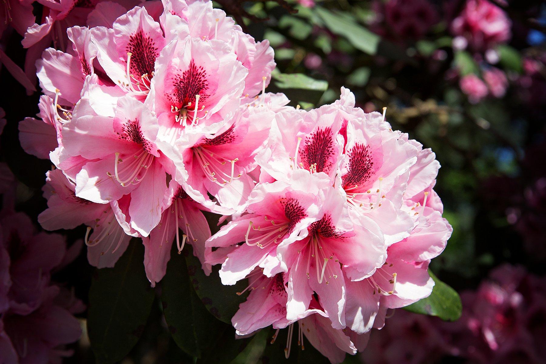 Rhododendrons in Lea Gardens near Matlock