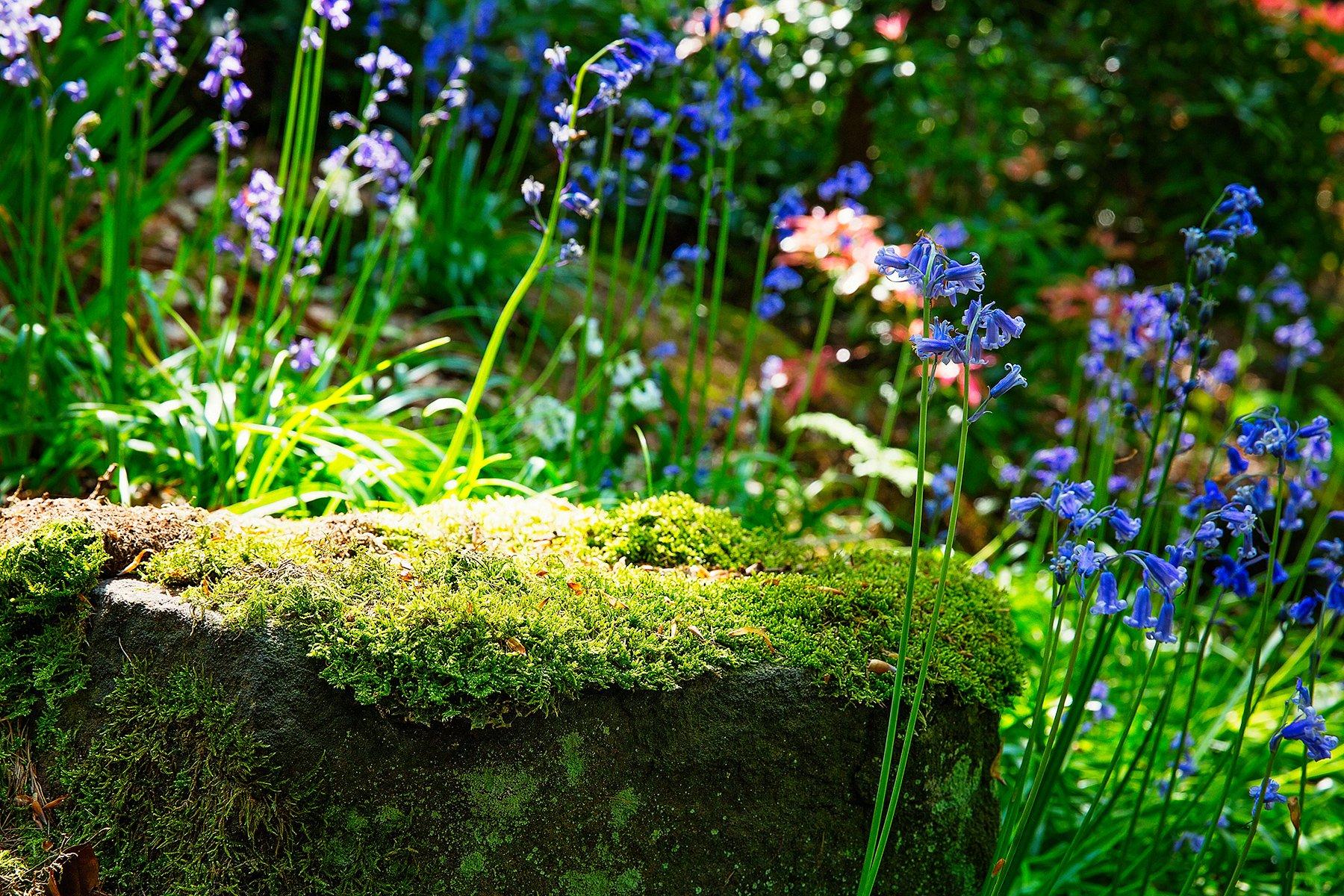 bluebells in Lea gardens