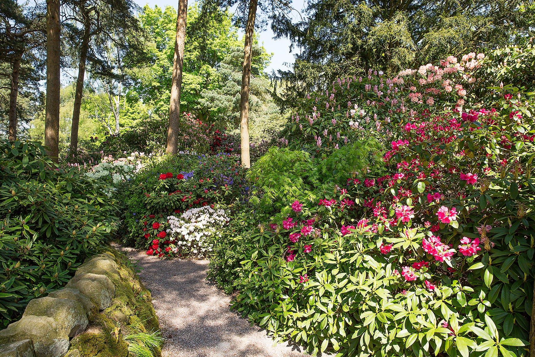 Rhododendrons Lea Gardens near Matlock