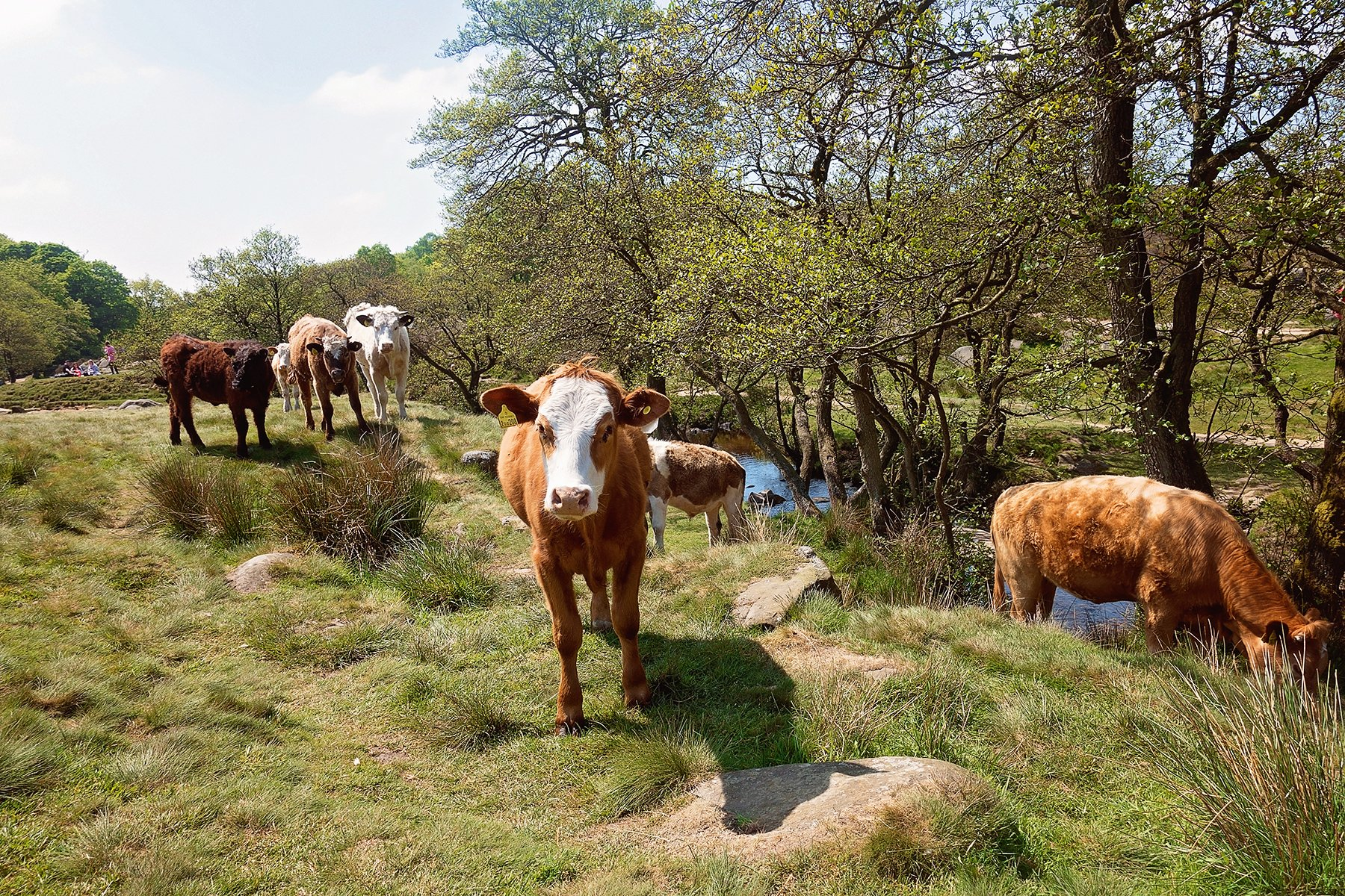 Cows in Padley Gorge, Longshaw