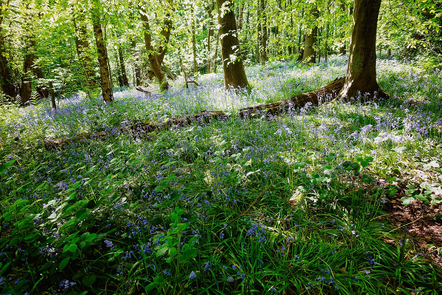Bluebells in Ecclesall Woods in Sheffield