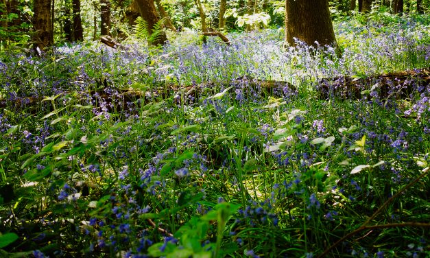 BLUEBELLS INVASION IN ECCLESALL WOODS, SHEFFIELD