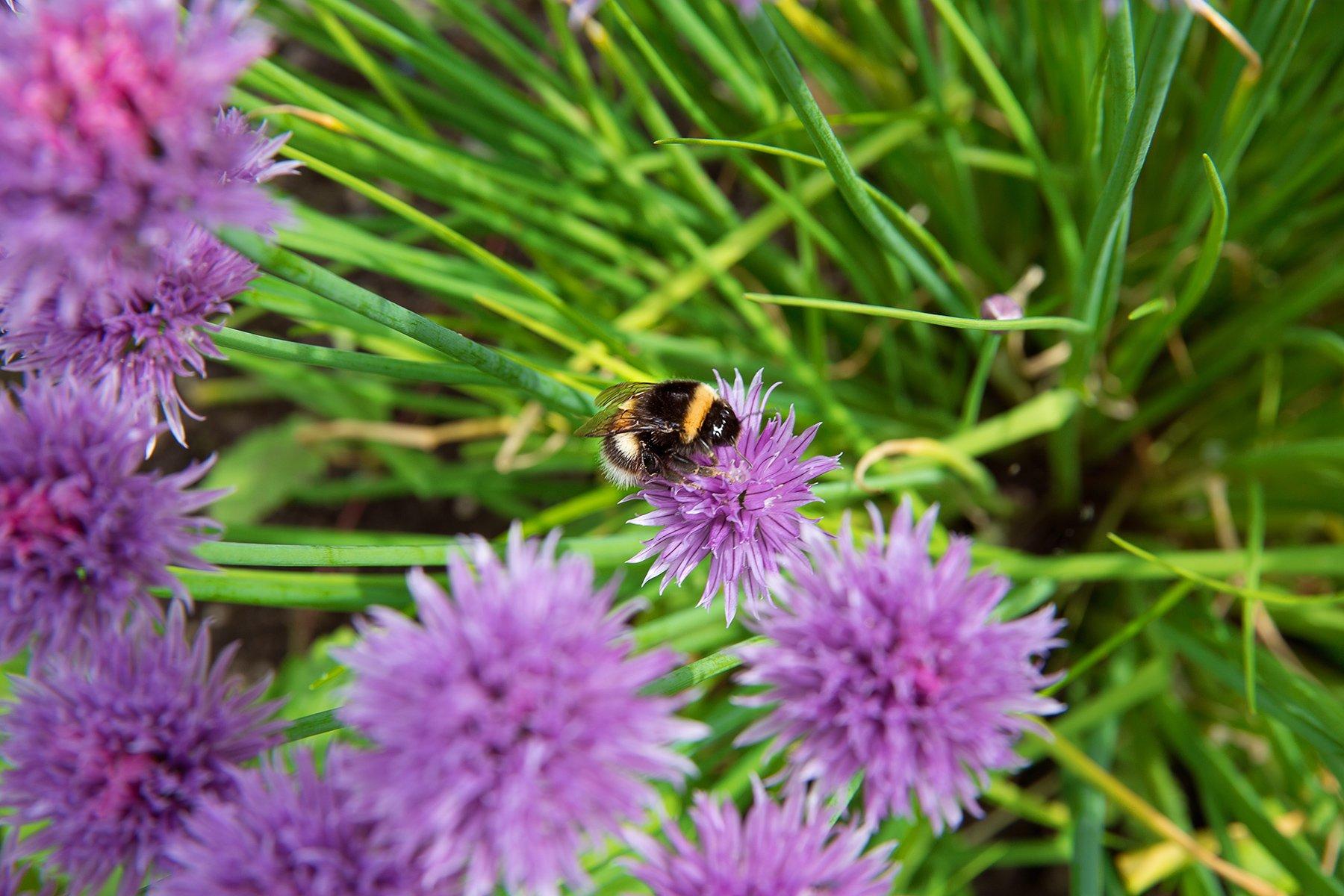 Bumble Bee in garlic