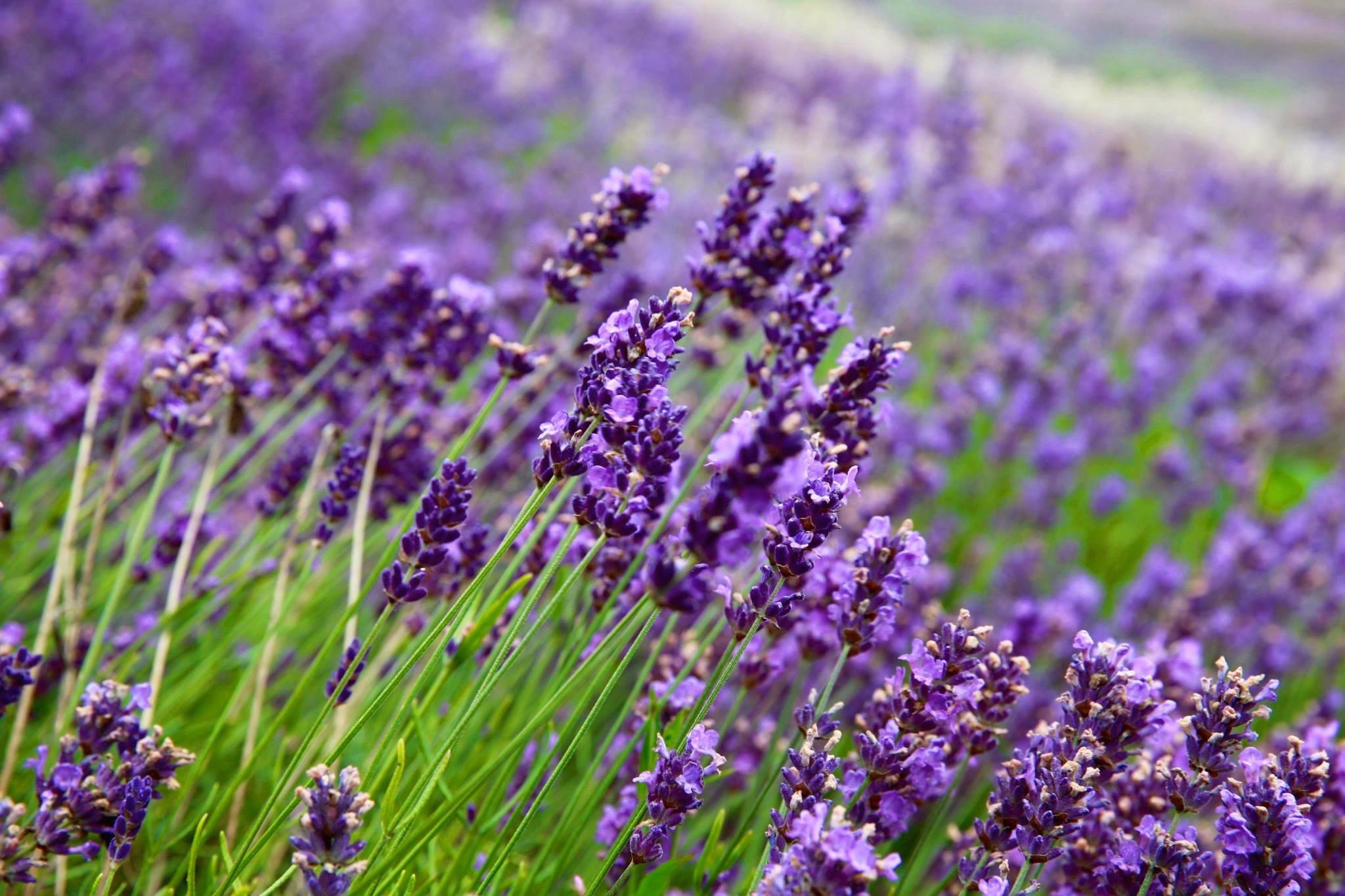 Yorkshire lavender