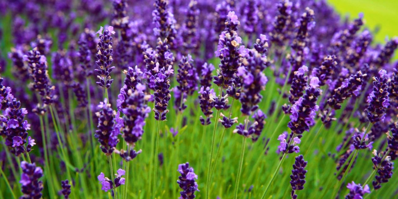 A DAY TRIP TO YORKSHIRE LAVENDER, Yorkshire