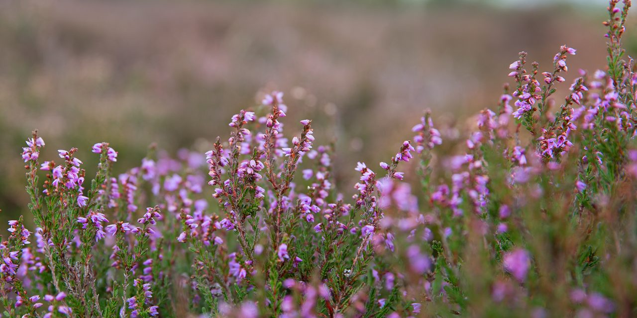 HEATHER WALK IN STANTON MOOR, DERBYSHIRE