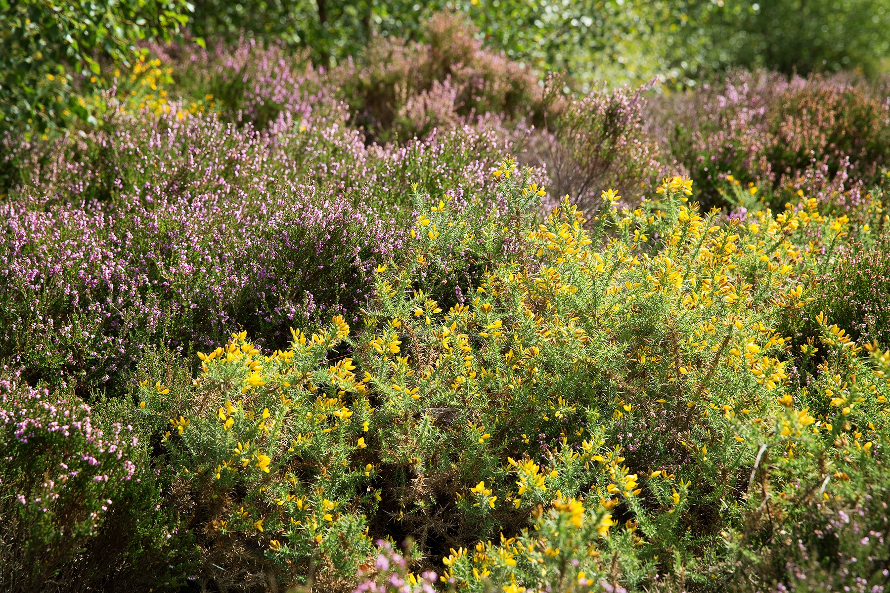 heather in Stanton Moor