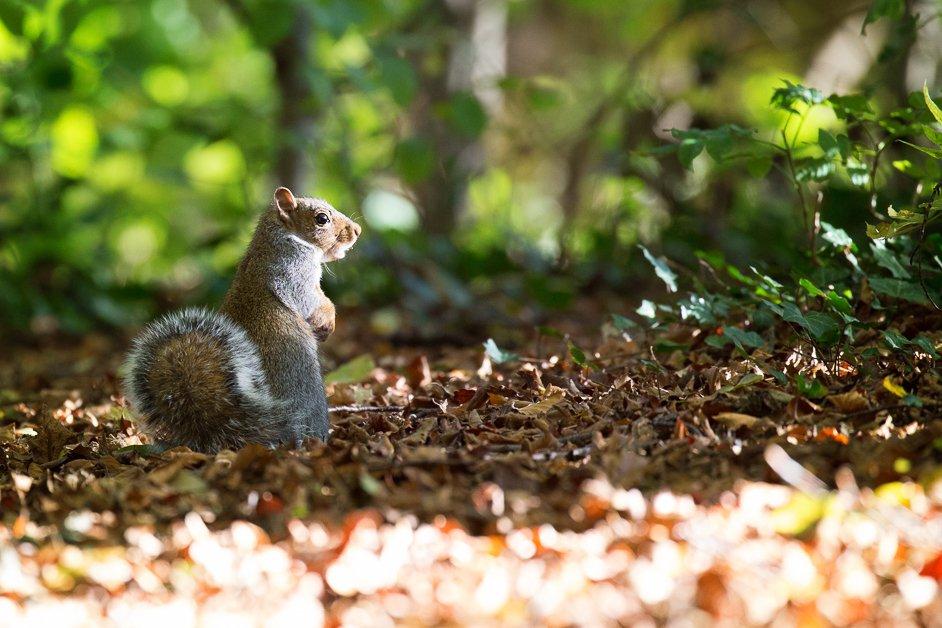 A squirrel Sheffield general cemetery