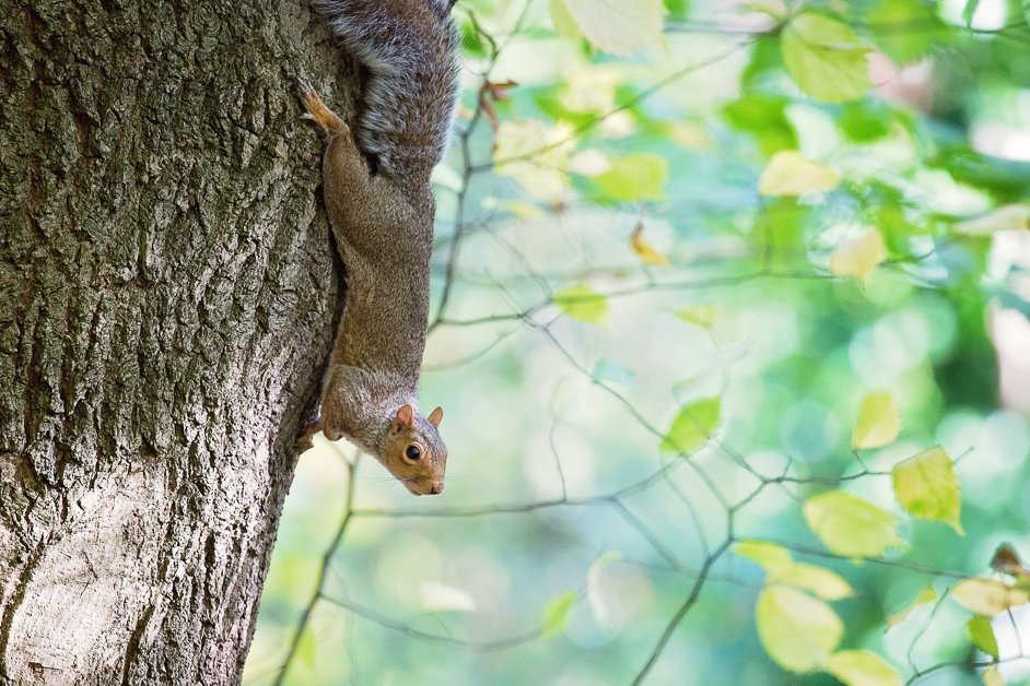 A squirrel at Sheffield general cemetery