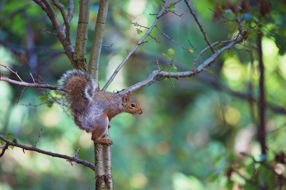 Squirrel at Sheffield general cemetery