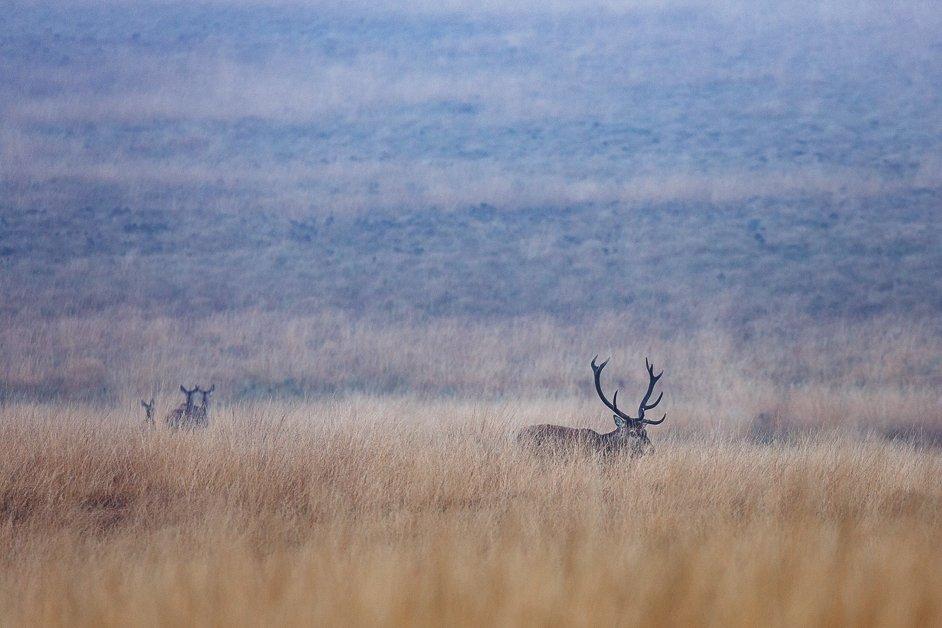 Wild red deer in the Peak District