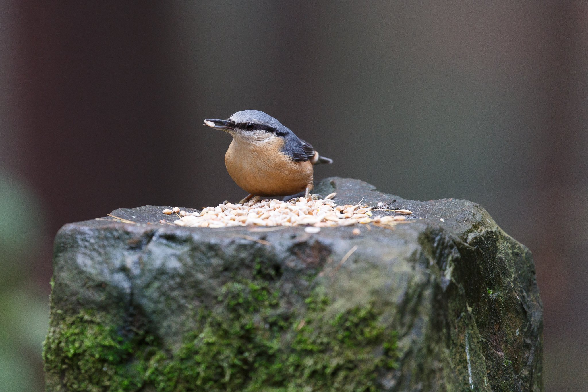wildbird nuthatch