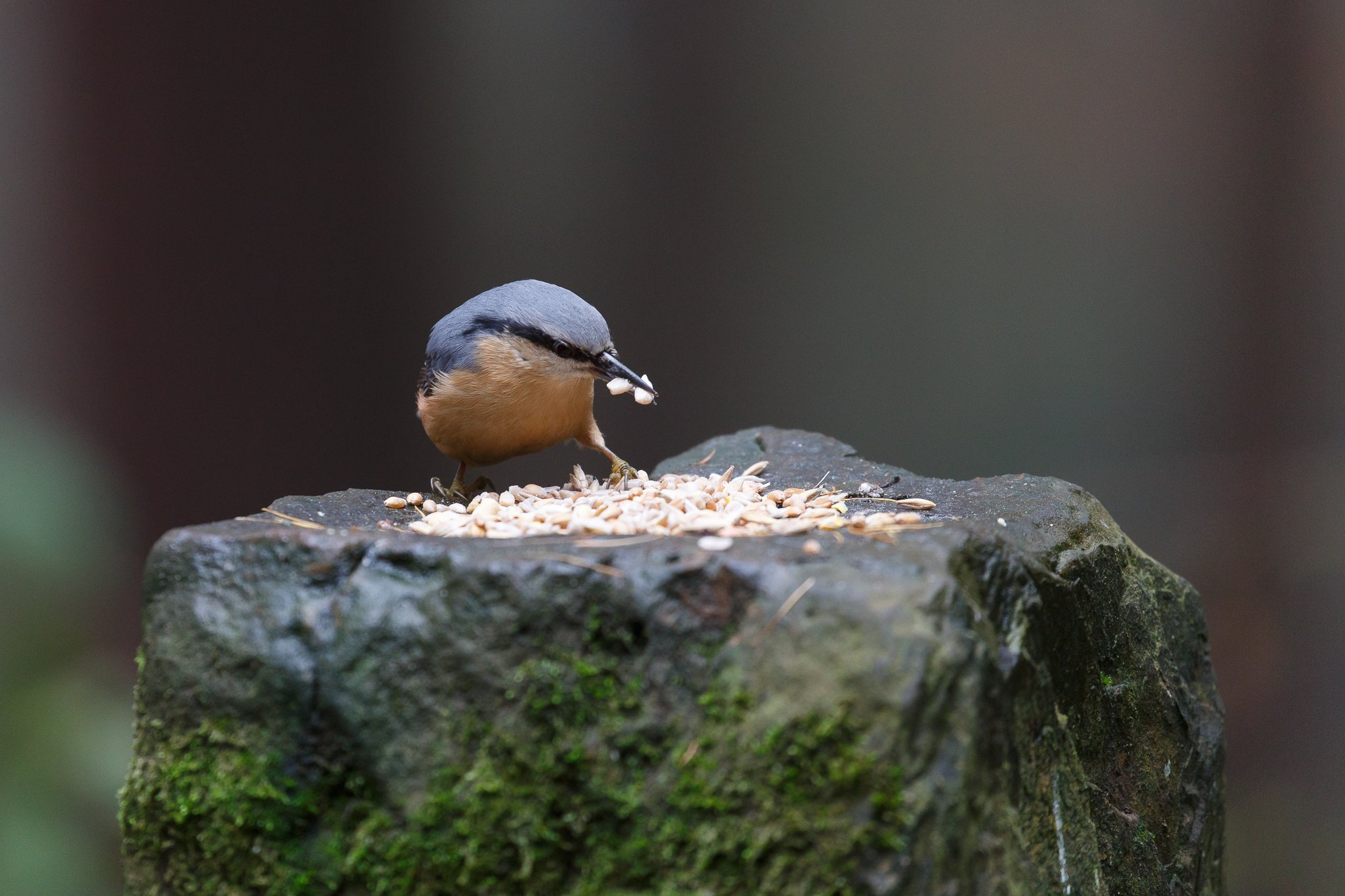 Nuthatch bird eating seeds