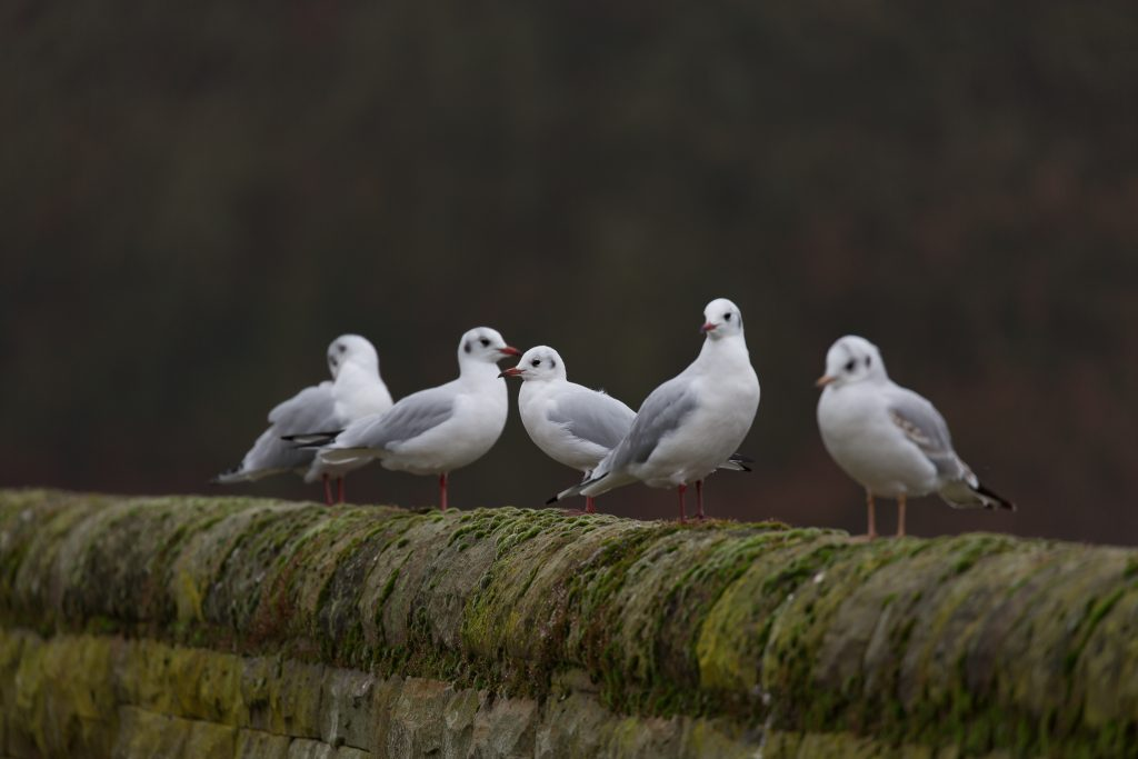 a group of black headed gulls birds