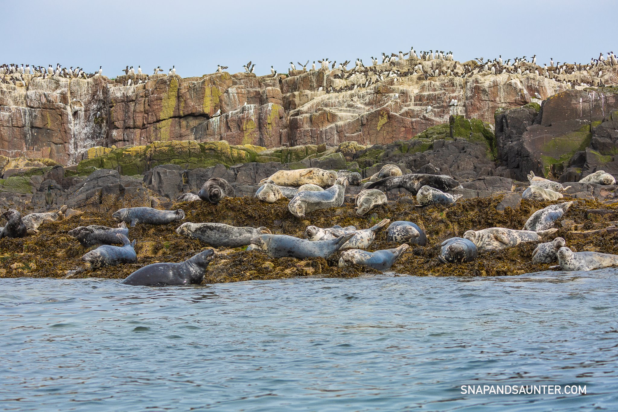 atlantic grey seal colony at Farne Islands