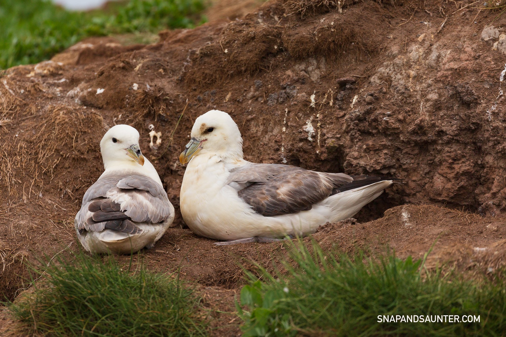A pair of fulmars on Staple Island in Northumberland