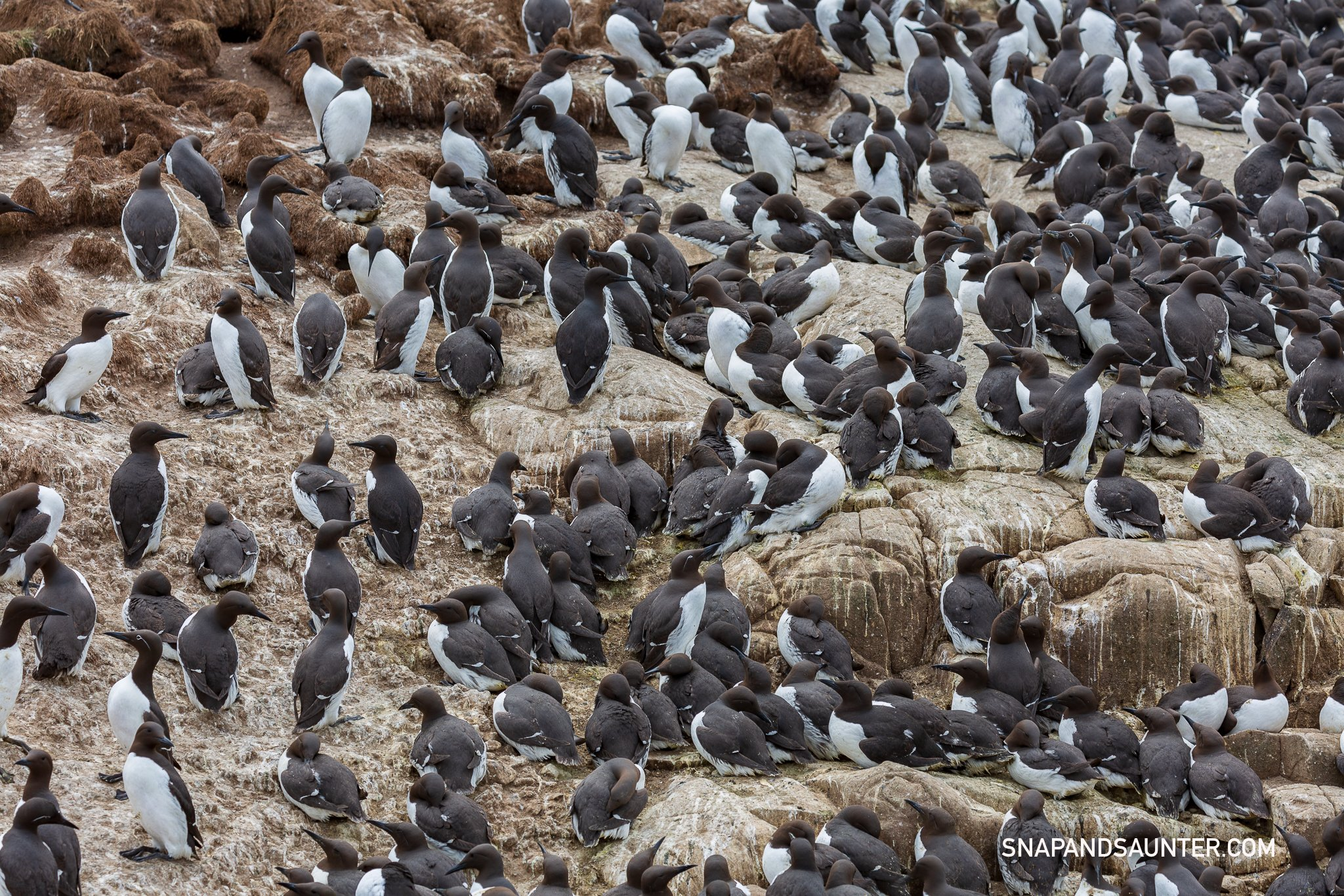 Guillemots on Staple Island