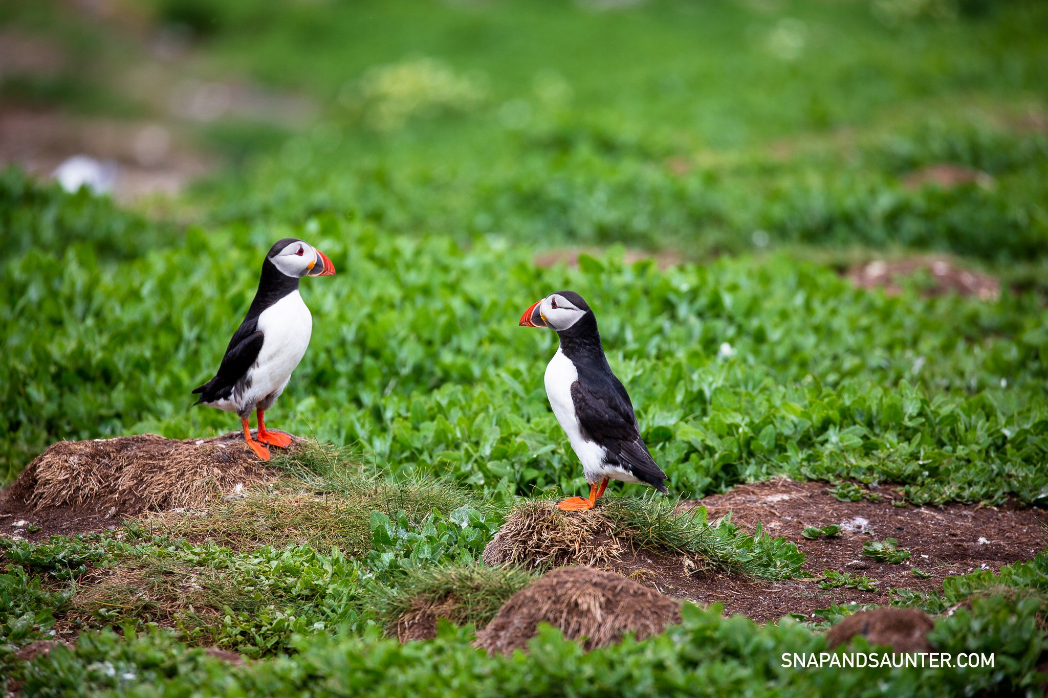 A couple of puffins looking at each other.