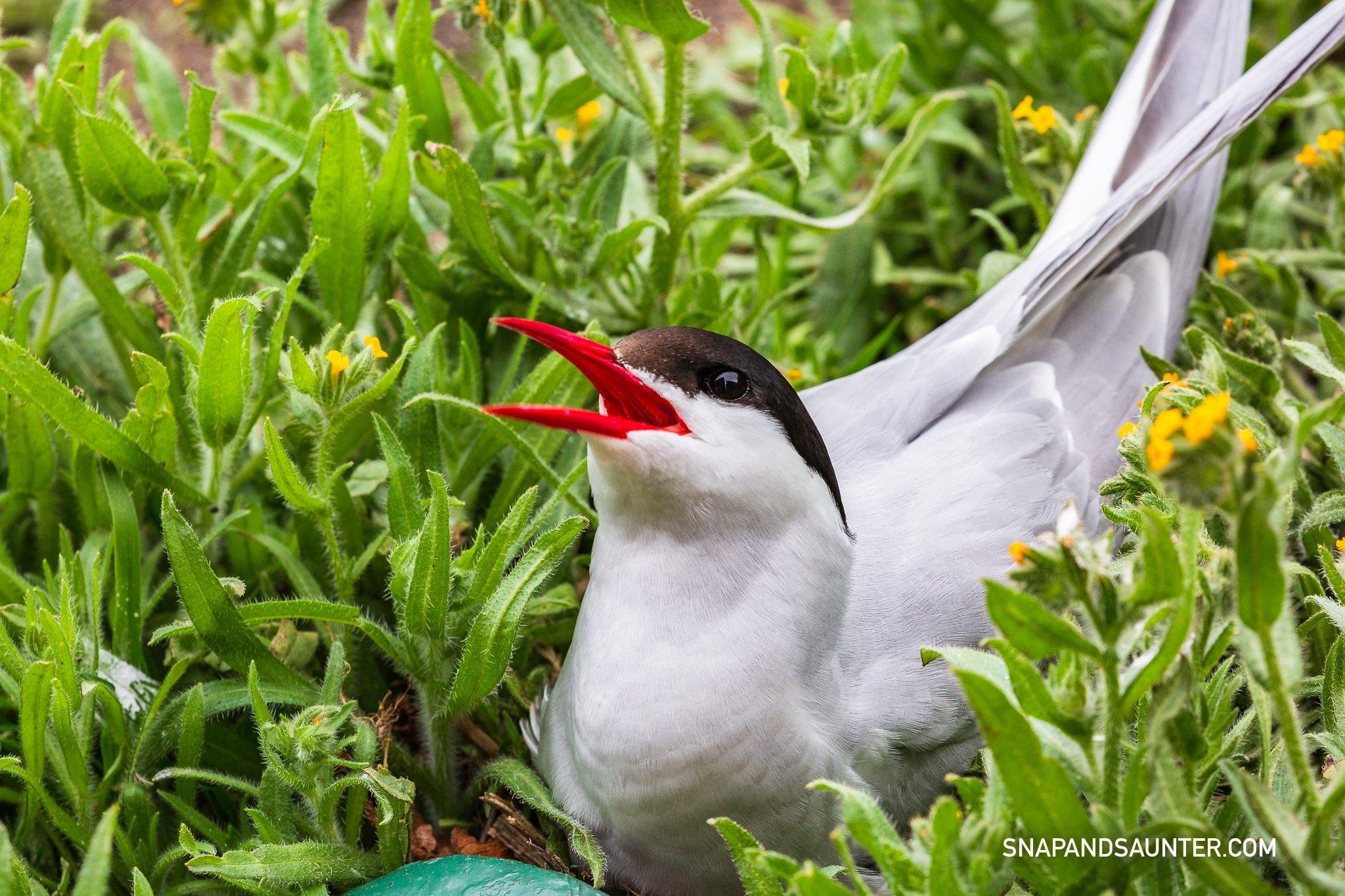 nesting Arctic Terns
