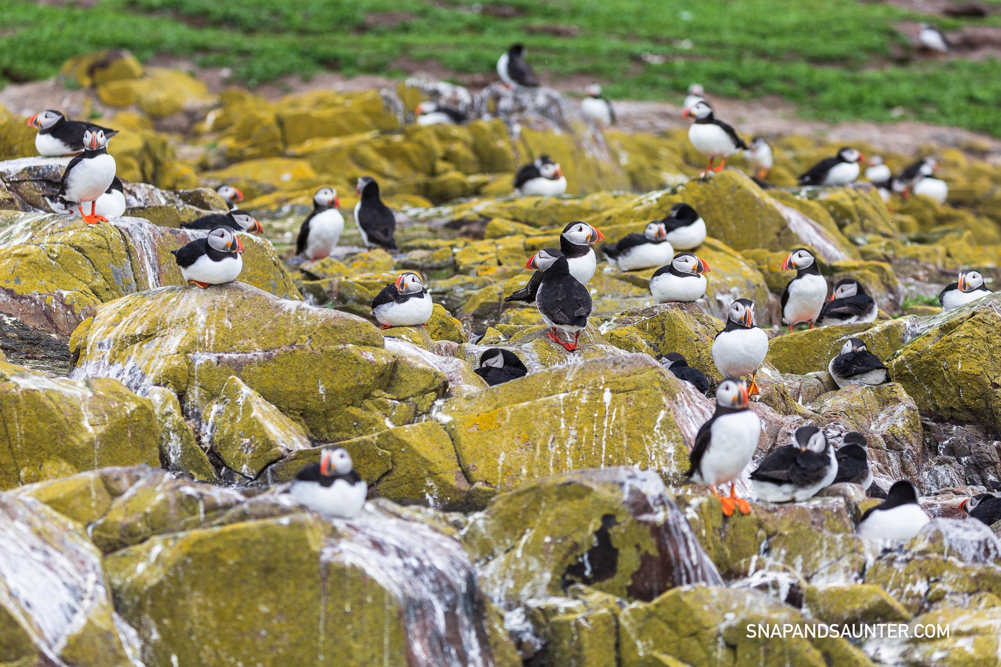 Puffins nesting on Staple Island
