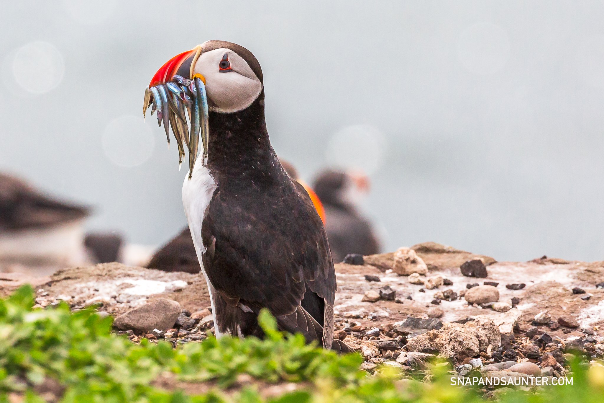 Puffin with sand eels in his beak