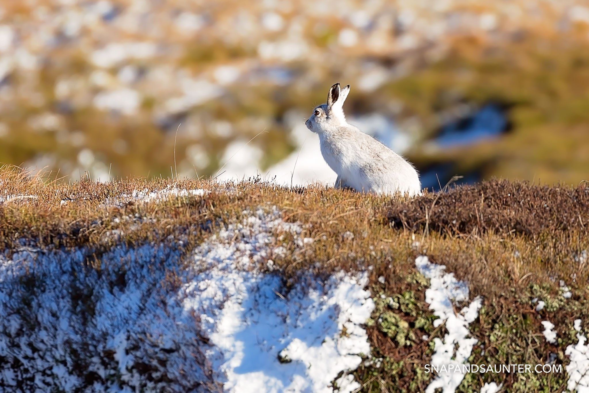 white mountain hare in the Peak District