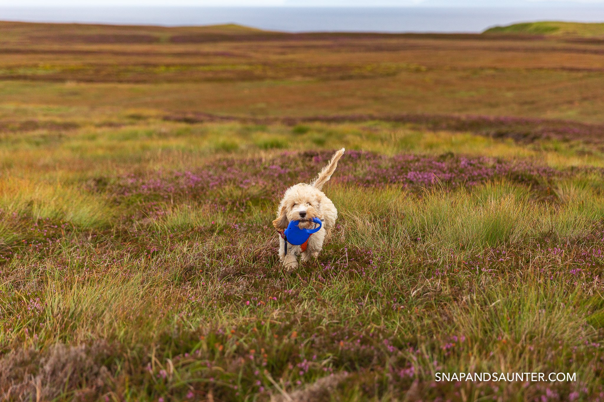 A cockapoo puppy carrying his lead in moorland
