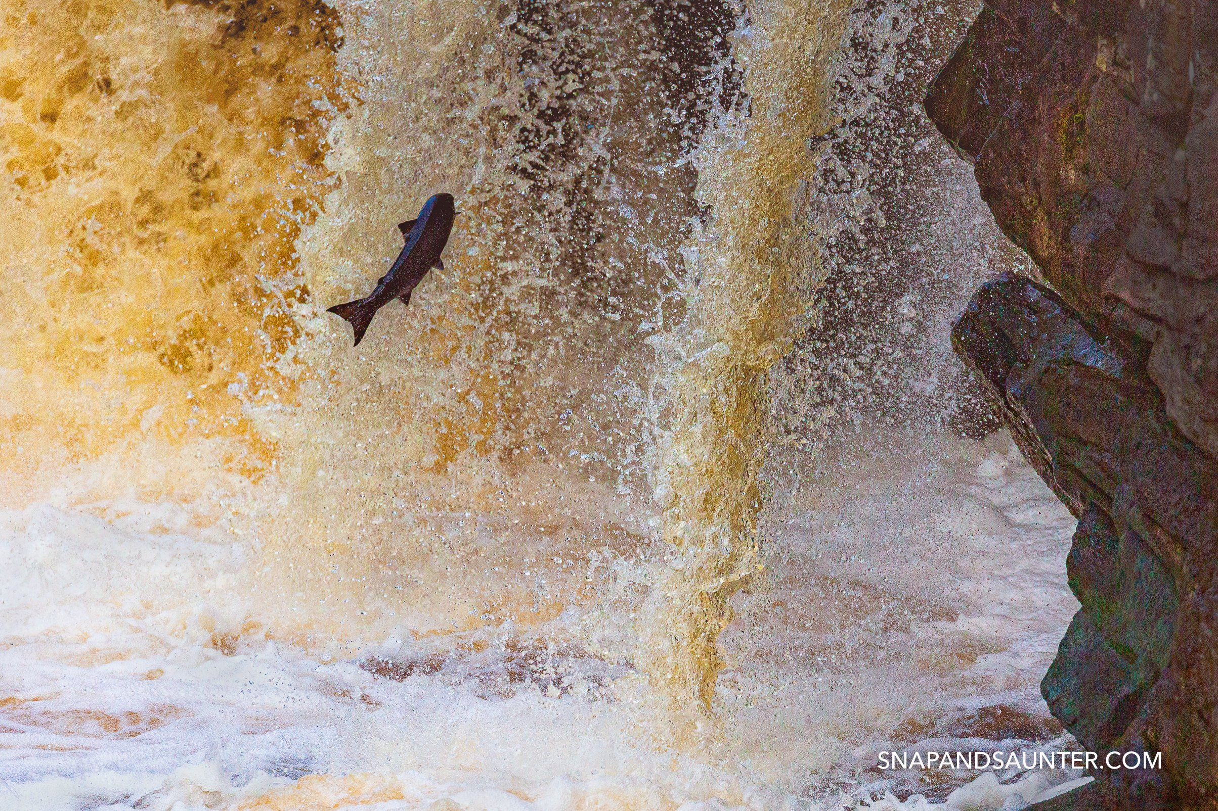 leaping salmon at Rogie Falls in Scotland. Martina Hardiman Photography