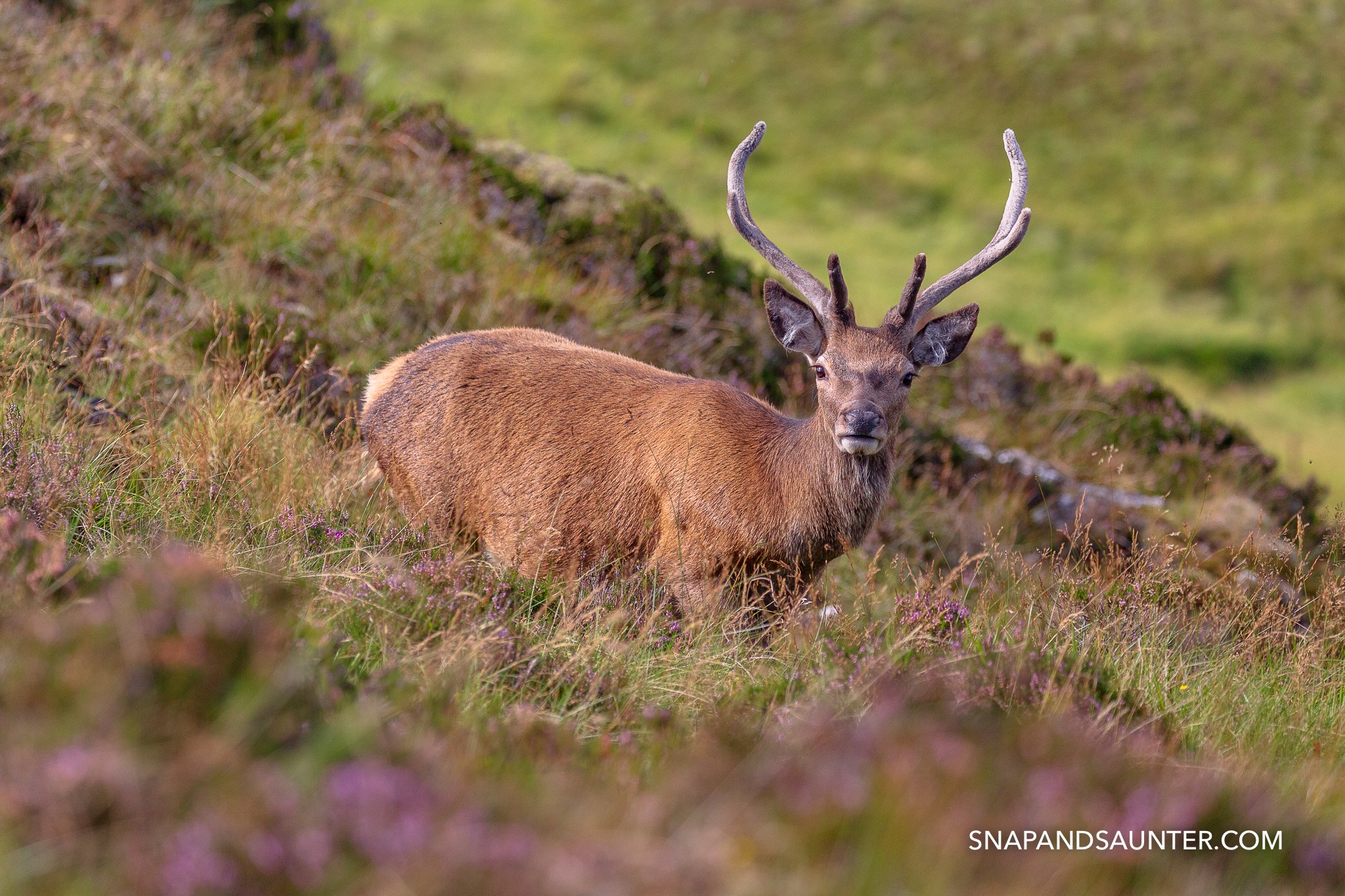 wild red deer at the Knockan Crag National Nature Reserve in Scotland