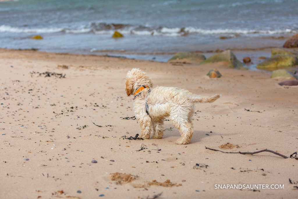 Cockapoo puppy on a beach