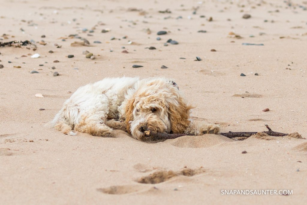 Cockapoo puppy lying on a beach