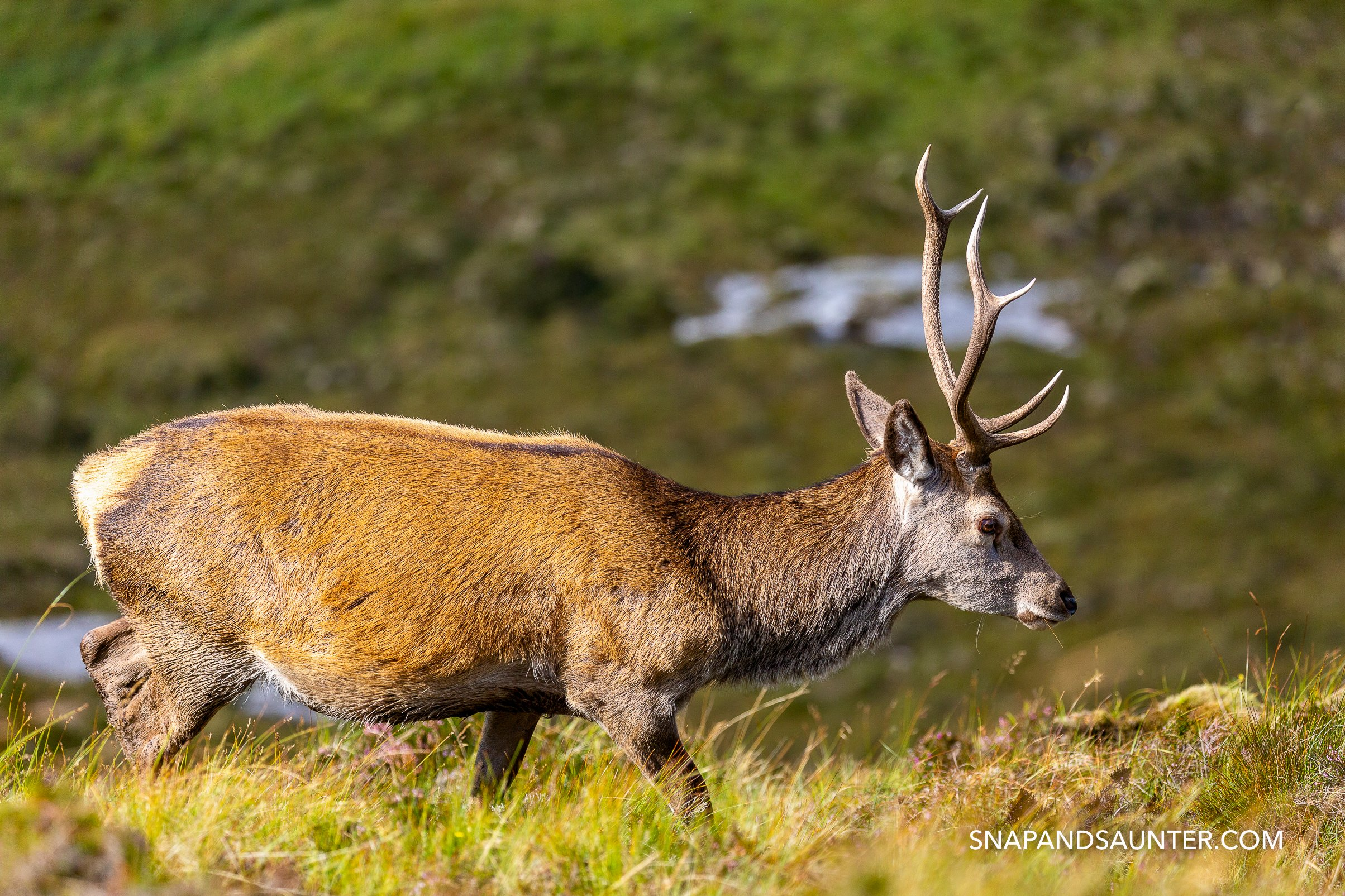 wild red deer stag on North Coast 500