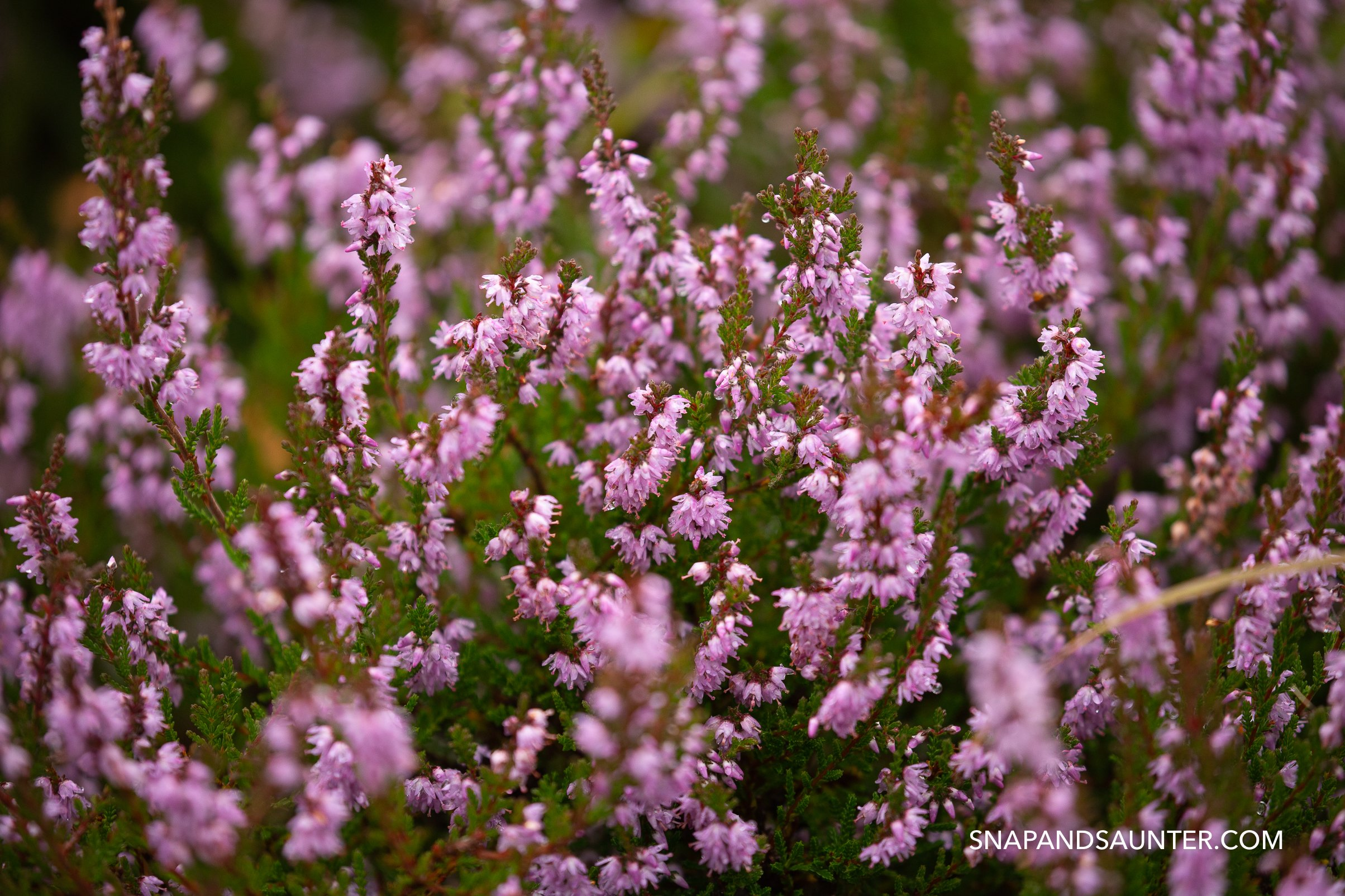 purple heather in bloom