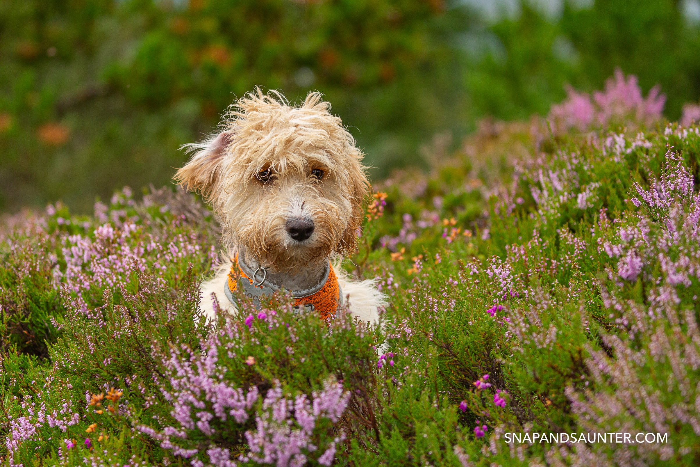 cockapoo puppy in heather. martina hardiman photography