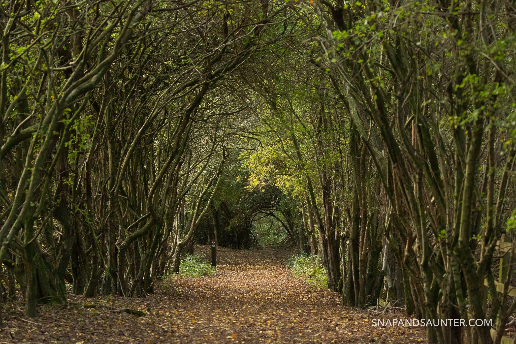 Hedge tree tunnel