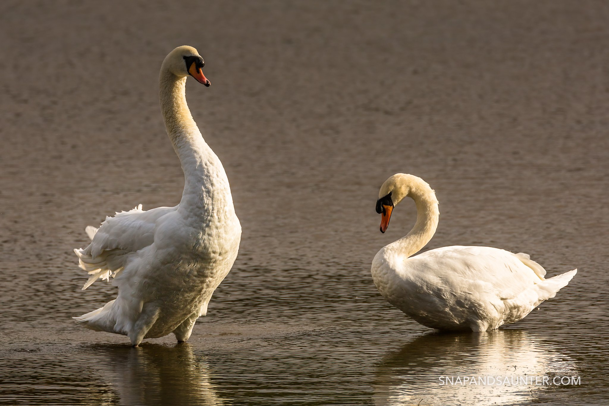 pair of mute swans at potteric car nature reserve in doncaster