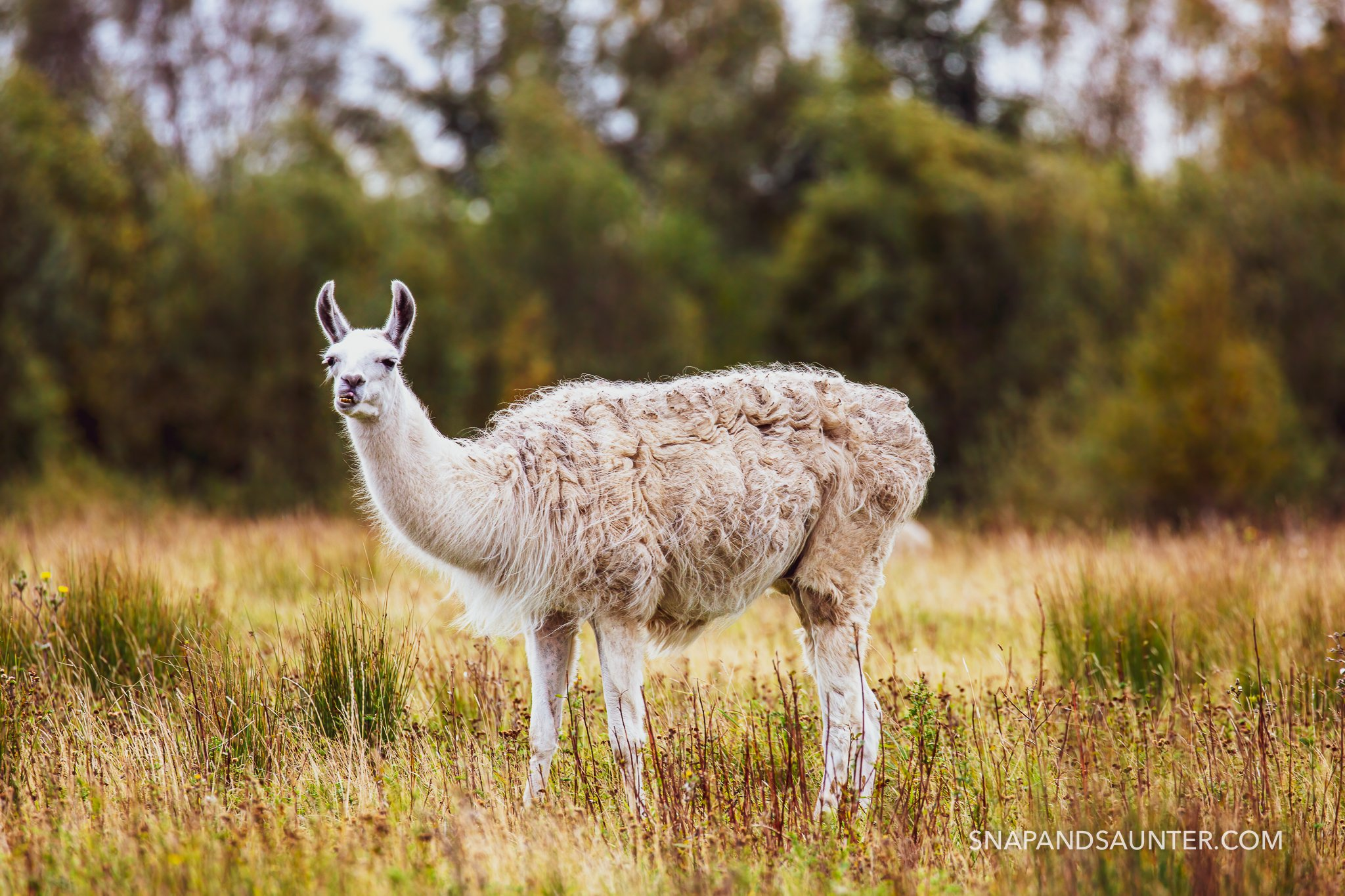 grazing white llama at potteric carr nature reserve at doncaster