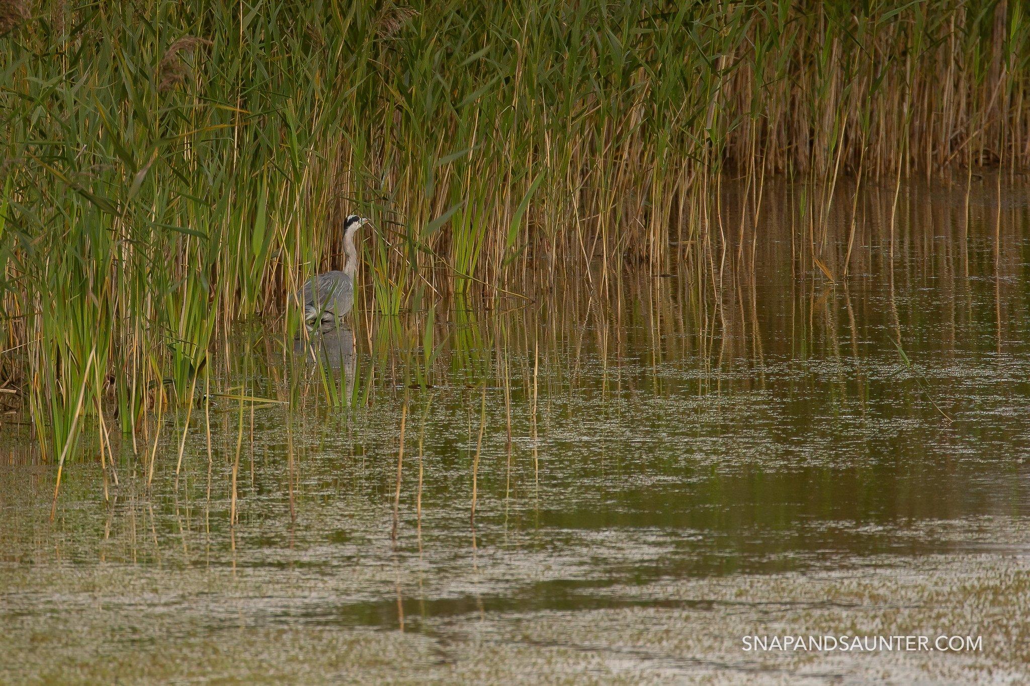 heron in reeds