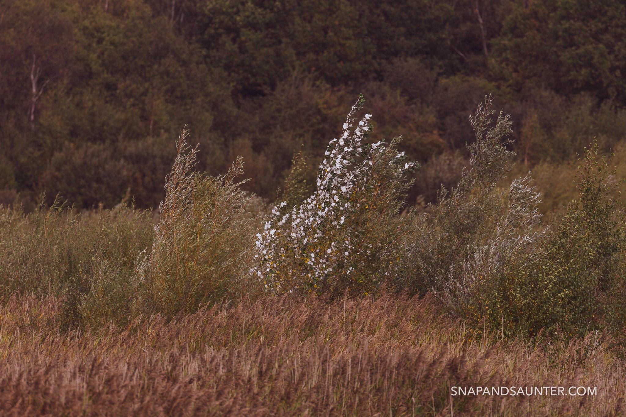 White Poplar tree at Potteric Car nature reserve