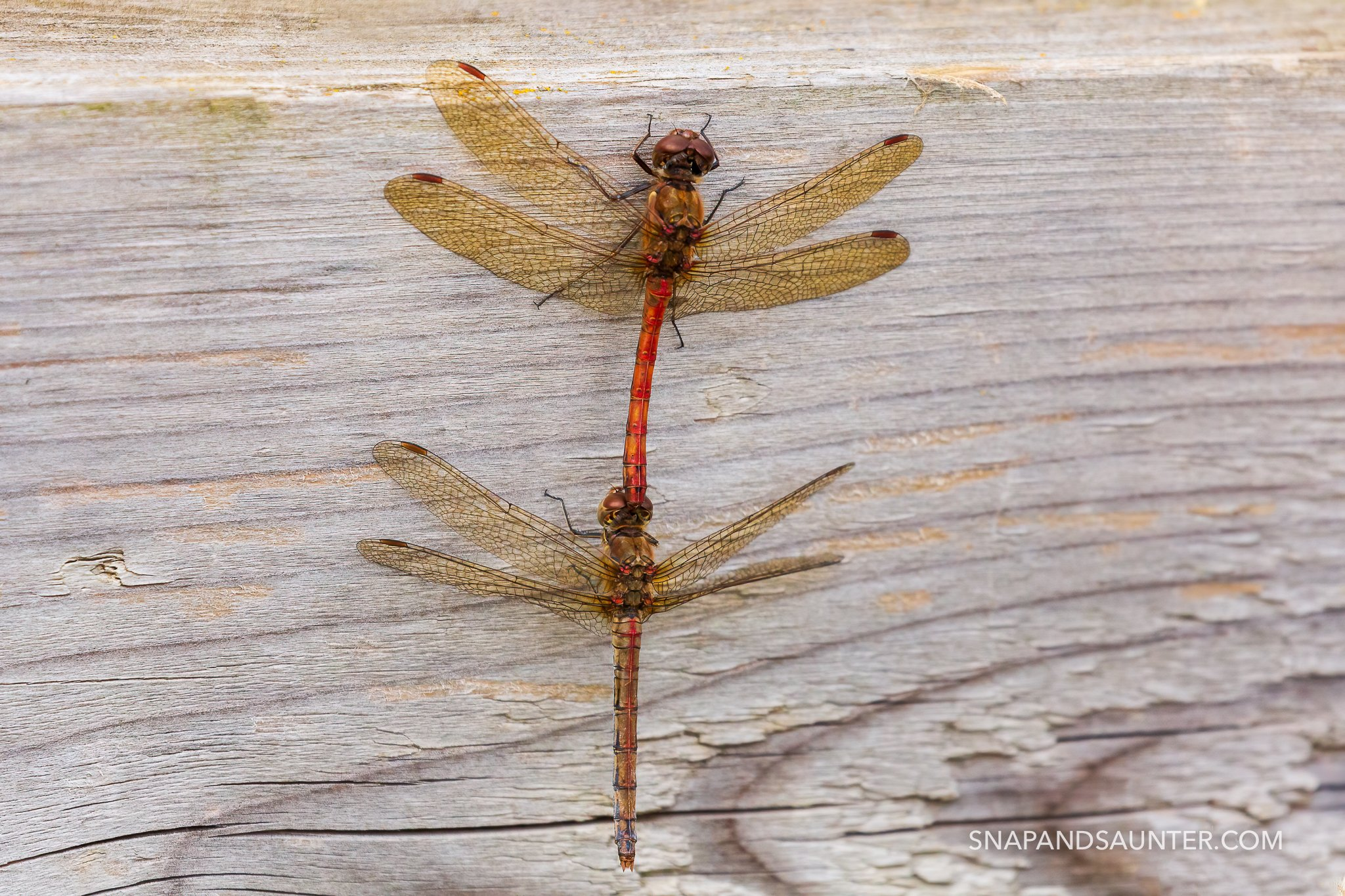 mating dragonflies in the Potteric Carr nature reserve